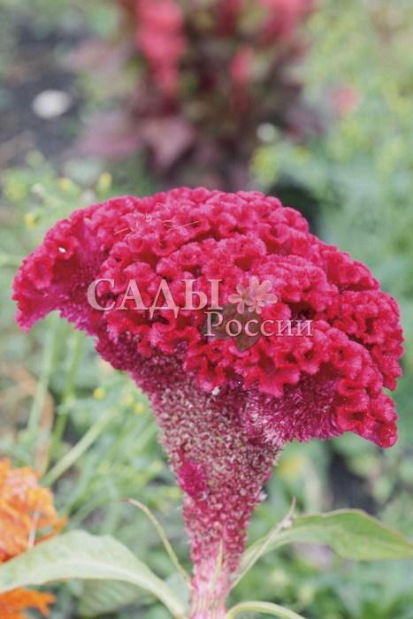 Целозия ТореадорОднолетники<br>Нарядное декоративное растение высотой до 60 см с оригинальными соцветиями в виде петушиного гребешка ярко-красного цвета.<br>