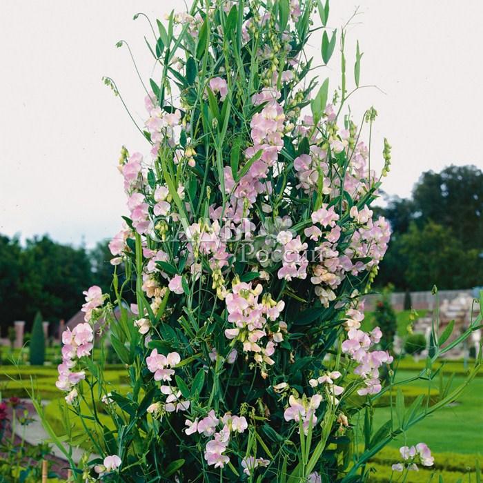 Чина Розовая жемчужина широколистнаяЛианы<br><br>