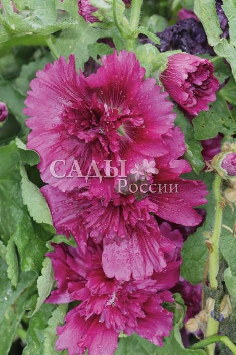 Шток-роза Пурпурная королеваОднолетники<br>Ещё один<br>летник высотой до 50 см. С июля и до снега её стебли густо<br>усыпаны яркими сочно-розовыми махровыми цветами диаметром до 12 см.<br>