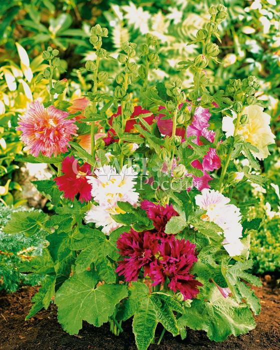 Шток-роза Мажоретта яркий наборОднолетники<br><br>