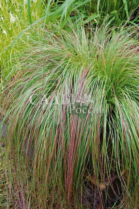Эрагростис ИзящнаяЗлаки<br>Необычайно изящное растение, высота его до 70 см.<br>