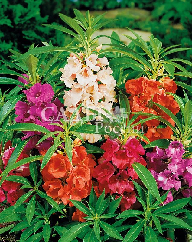 Бальзамин Камелия яркий наборОднолетники<br>Отличается<br>большим разнообразием цветов и оттенков. Махровые<br>цветки возвышаются над листьями, создавая впечатление<br>изысканного букета. Его высота до 50 см.<br>