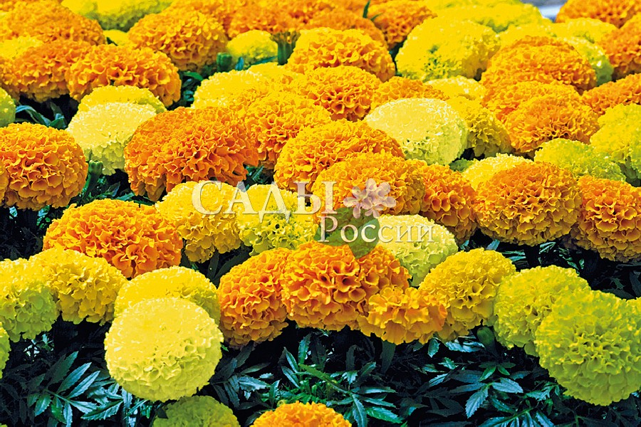 Бархатцы Дискавери жёлто-оранжевый набор французскиеОднолетники<br>Супермахровые, очень плотные, разноцветные шары. Все цветы<br>одинаковые, калиброванные как на подбор.<br>