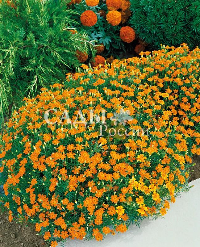 Бархатцы Мандарин Джем тонколистныеОднолетники<br>Яркая оранжевая окраска соцветий.<br>