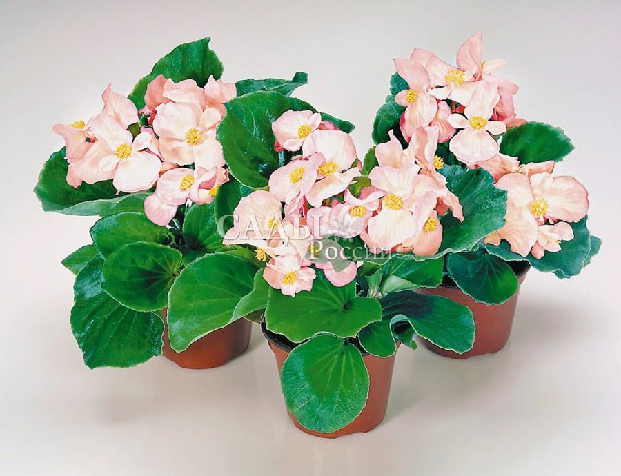 Бегония Яблоневый цвет вечноцветущаяОднолетники<br>Эти хрупкие, фарфоровые цветы<br>устойчивы к непогоде.<br>
