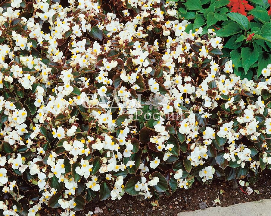 Бегония Взгляд белый вечноцветущаяОднолетники<br>Эффектный и очень выразительный контраст белых, как жемчуг, лепестков с бисером золотистых тычинок и насыщенного<br>тёмно-зелёного глянца листьев.<br>