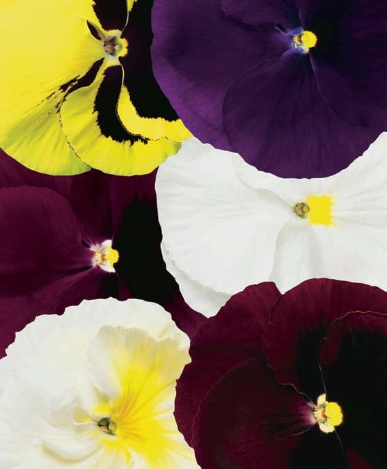 Виола Ненаглядная цветной наборДвулетники<br><br>
