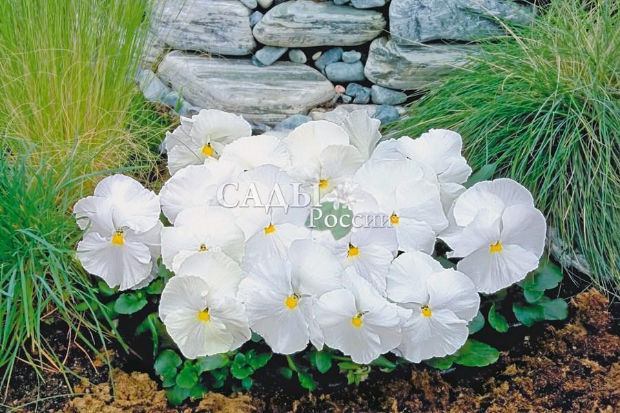 Виола Ненаглядная белаяДвулетники<br>Не реагирует на высокую<br>температуру и цветёт одинаково обильно с ранней весны и до<br>поздней осени.<br>