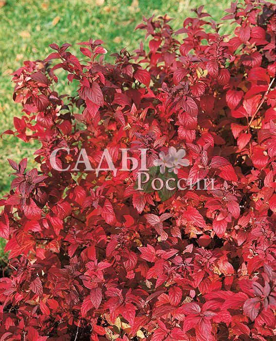 Спирея японская ФробелиДекоративные деревья, кустарники, лианы<br>Прекрасная<br>пурпурно-розовая красавица. Не расстаётся с любимыми рубиново-аметистовыми оттенками с весны до осени.<br>