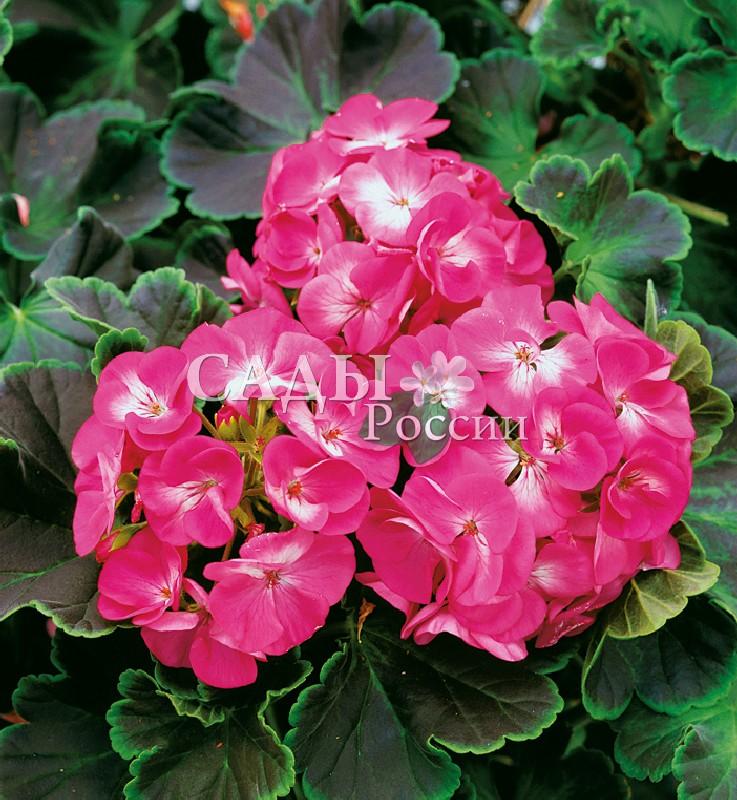 Герань Ночь розоваяОднолетники<br>Фиолетово-розовая, с тёмными листьями.<br>