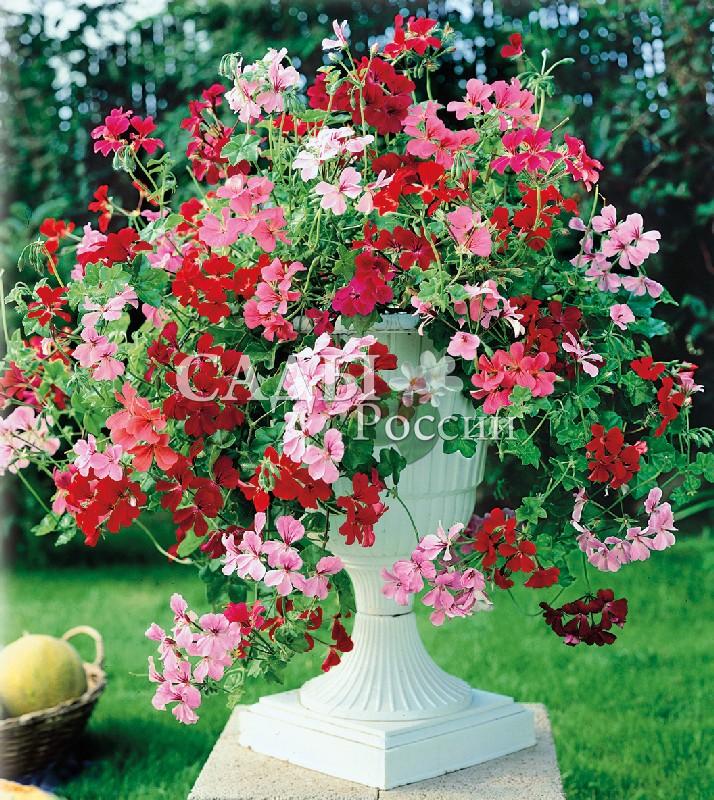 Герань Летние Дожди яркий набор плющелистнаяОднолетники<br>Ампельная каскадная герань. Побеги буквально усыпаны мотыльками цветков, которые ниспадают на 40-50 см.<br>