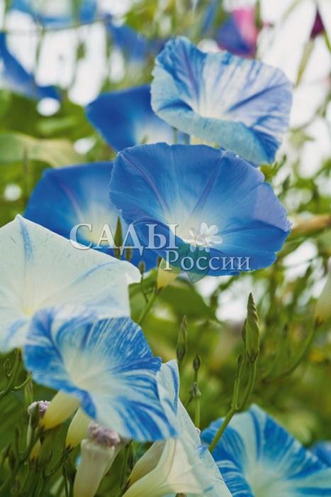 Ипомея Летающая тарелкаЛианы<br>Крупные,<br>до 10 см в диаметре, воронковидные цветки бело-голубой окраски.<br>