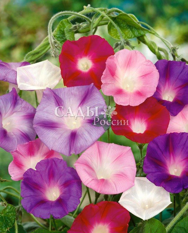 Ипомея Полевая яркий наборЛианы<br>Излюбленная и надёжная лиана с цветами различных оттенков.<br>