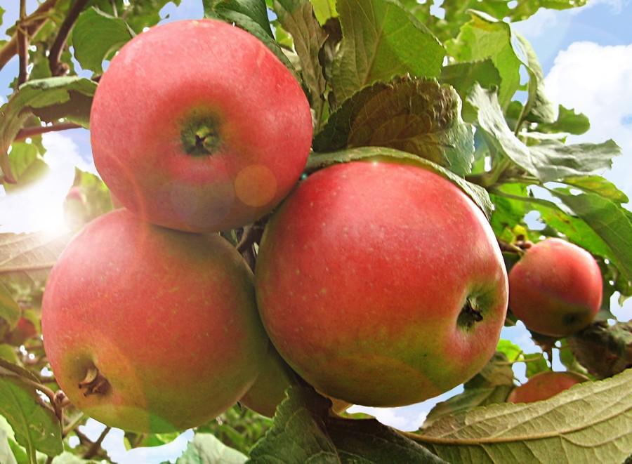 Яблоня Краса СвердловскаЯблоня Зимние сорта<br>Дерево достаточно морозостойкое. Плоды крупные и очень<br>крупные массой 120—200 г, кремового цвета с размытым<br>пунцово-красным румянцем.<br>