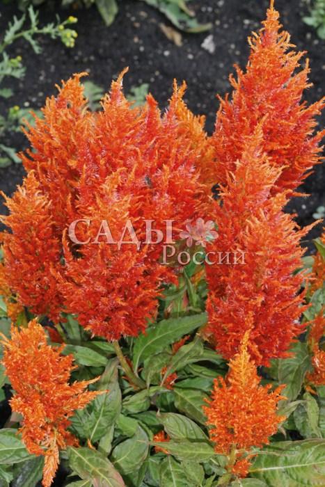Целозия Оранжевое пероОднолетники<br>Компактное, низкорослое растение высотой 35 см, половину которой<br>составляет крупное метельчатое соцветие ярко-оранжевого<br>цвета.<br>