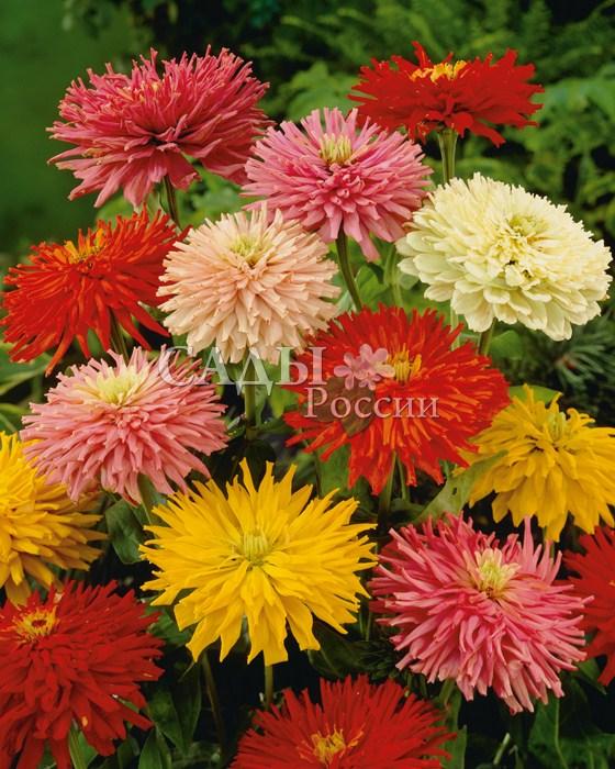 Циния Кактус яркий наборОднолетники<br>Высокорослая, до<br>1 м высотой циния. Её цветы очень крупные, со скрученными в трубочку лепестками.<br>