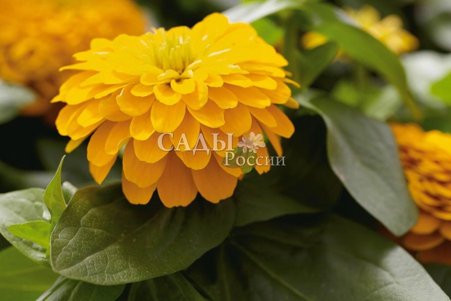Циния КанарейкаОднолетники<br>Высота растения – 90 см. На мощных цветоносах расположены крупные,<br>10 см в диаметре, цветы.<br>