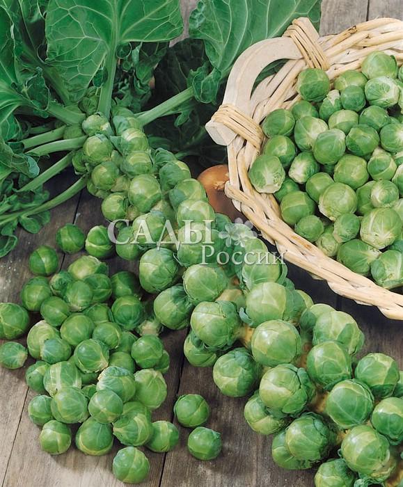 Капуста Орешки F1 брюссельскаяКапуста брюссельская<br>Гибрид представляет собой растение высотой до 60 см. У основания<br>листьев<br>завязываются небольшие плотные кочанчики.<br>