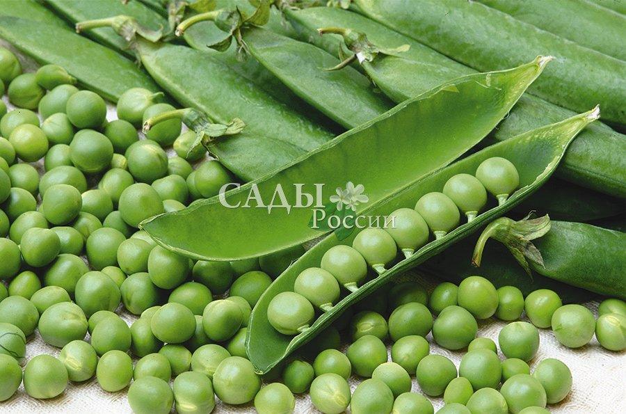 Горох Сладкий жемчуг F1Горох<br>Отмечаются особо крупные, ровные горошины до 1 см в диаметре,<br>отличного вкуса.<br>
