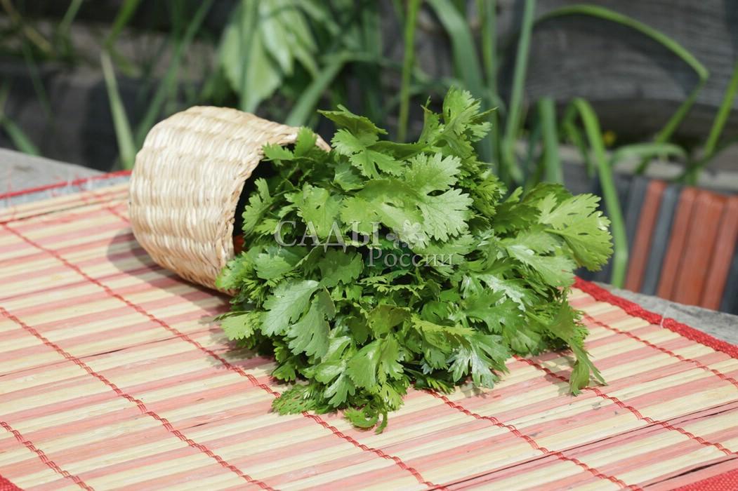 Кинза ОбильнаяПряновкусовые травы<br>Известное с<br>бабушкиных времён пряное растение. Восточная кухня немыслима<br>без кинзы.<br>