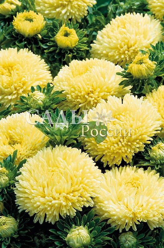 Астра Гала жёлтаяОднолетники<br>Сколько<br>света и радости в тёплых солнечных лепестках, дарящих<br>незабываемое очарование лета.<br>