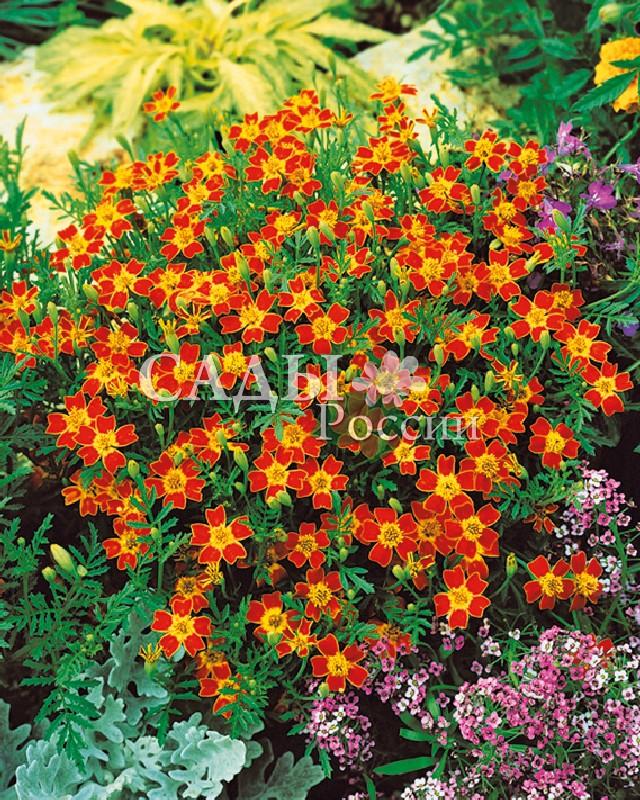 Бархатцы Красный Джем тонколистныеОднолетники<br>Их светлая мелкоузорчатая зелень сама по себе притягивает<br>внимание. Даже одно растение образует обильно цветущий шар.<br>