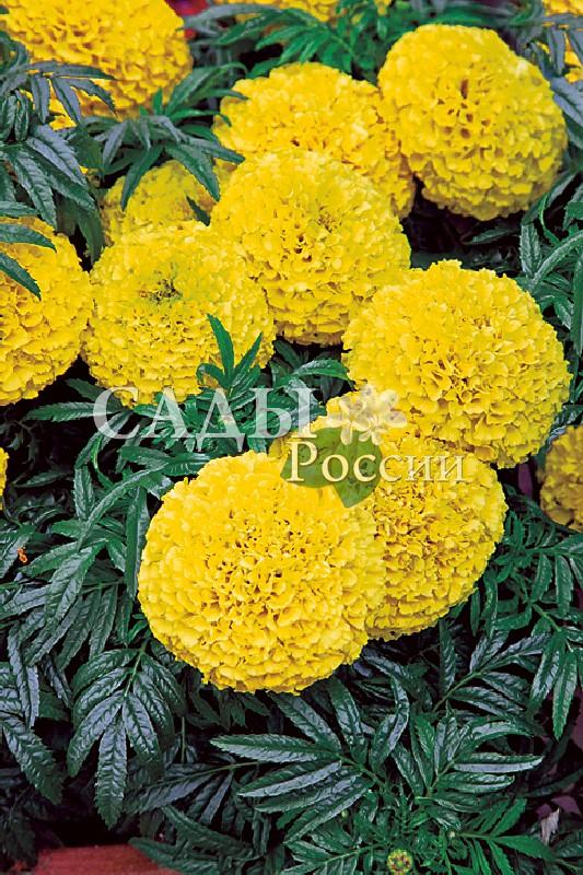 Бархатцы Дискавери жёлтый французскиеОднолетники<br>Дискавери зацветает<br>уже в июне и уходит цветущим под снег.<br>
