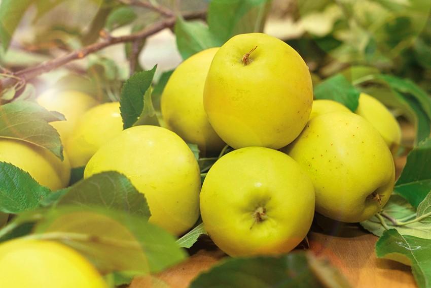 Яблоня Лебединая песня(Любава)Яблоня Зимние сорта<br>Когда все плоды и ягоды собраны, а сад опустел и<br>притих, как последний летний привет созревают яблоки<br>этого сорта.<br>