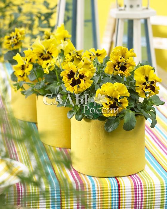 Виола Фризл-Сизл жёлтая с усикамиДвулетники<br><br>