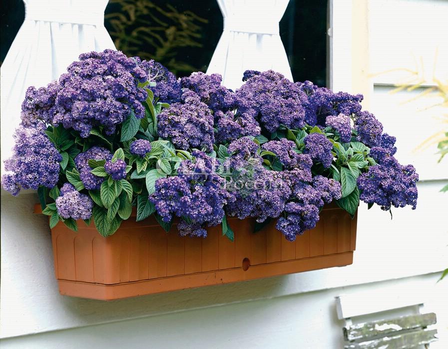 Гелиотроп МаринМноголетники<br>Красивые, крупные, с исключительно тонким, изысканным ароматом соцветия,<br>насыщенный тёмно-синий цвет с густым фиолетовым оттенком.<br>