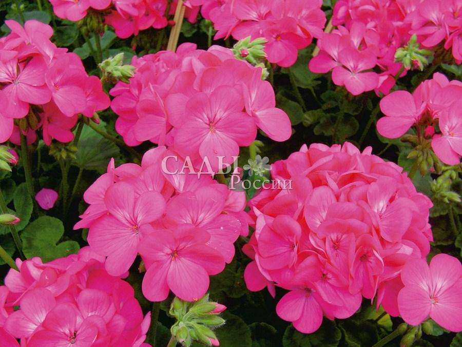 Герань Апаче насыщенно-розоваяОднолетники<br>Насыщенный, глубокий розовый, увлекающий и умиротворяющий.<br>