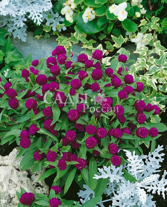 Гомфрена ПурпурнаяСухоцветы<br>Небольшие пурпурные шарики соцветий обильно усыпают сильноразветвлённый кустик.<br>