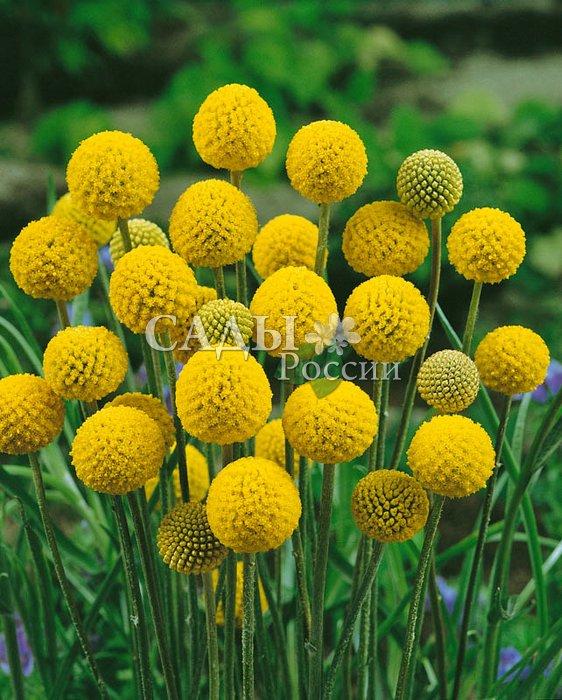 Краспедия Барабанные палочкиСухоцветы<br>Экстравагантная драгоценность жёлтого цвета. В культуру введена<br>совсем недавно из природной флоры Австралии.<br>