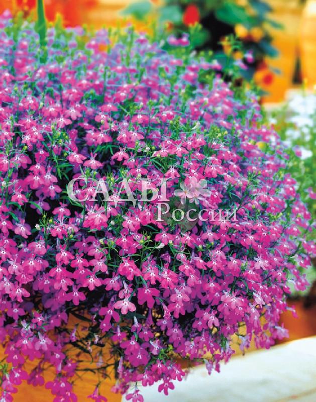 Лобелия Ривьера РозоваяОднолетники<br>Шарообразный кустик, раннее цветение, насыщенный розовый цвет.<br>