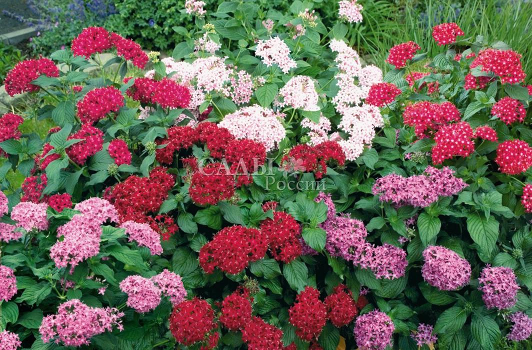 Пентас Граффити цветной наборКомнатные растения<br>Одно из немногих<br>комнатных растений, цветущих в зимнее время.<br>