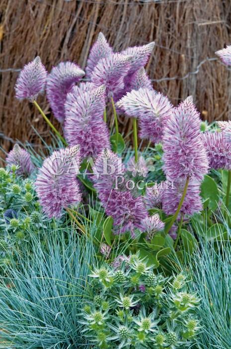 Птилотус ДжойОднолетники<br>Лисий хвостик. Обратите особое внимание! Уникальное растение, практически не известное российским любителям цветов.<br>