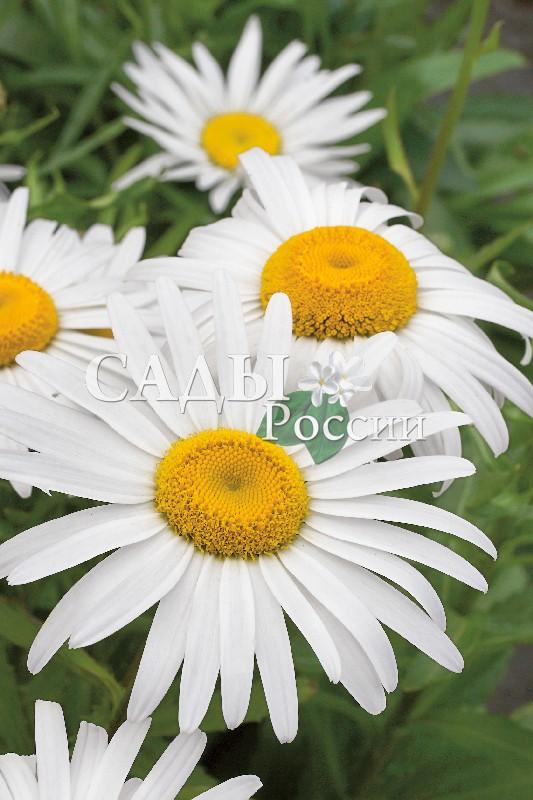 Ромашка садовая Серебряная принцессаМноголетники<br>Ромашковое жёлтоглазое полотно с длинными ресницами<br>белоснежных лепестков.<br>