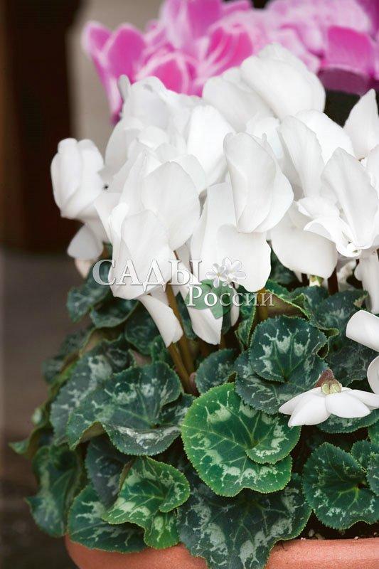 Цикламен Аполлон персидскийКомнатные растения<br>Парус<br>надежды.<br>