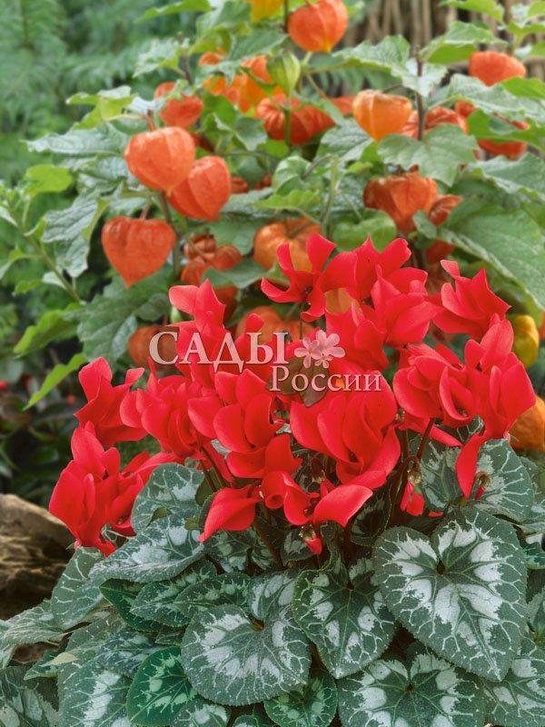Цикламен Пурпурный персидскийКомнатные растения<br>Пламя<br>страстей.<br>