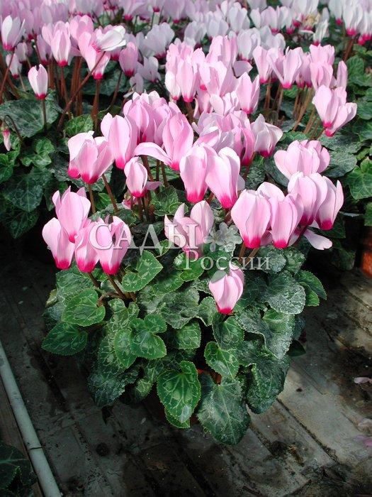 Цикламен Розовый с глазком персидскийКомнатные растения<br>Бесконечная нежность.<br>