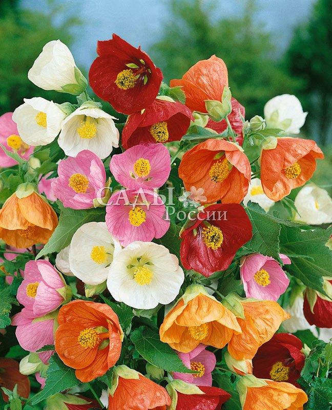 Абутилон ИзабеллаКомнатные растения<br>Декоративный вечнозелёный кустарник будет отличным украшением<br>Вашего дома. Он согреет Вас и Ваших близких даже в<br>самый свирепый мороз.<br>