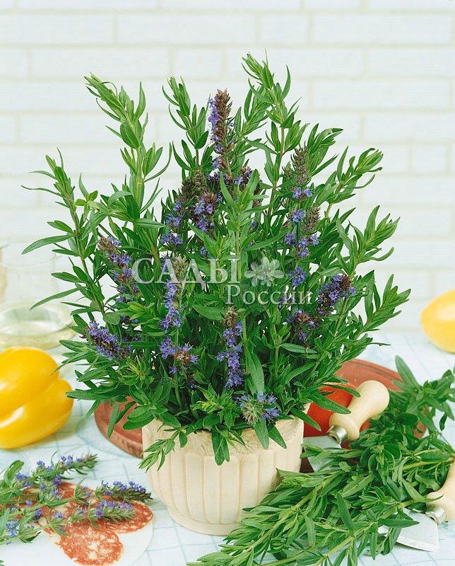 Иссоп ЛекарственныйАптекарский огород<br>Хорош во всех своих проявлениях. Название растения происходит<br>от древнегреческого «священная ароматная трава».<br>