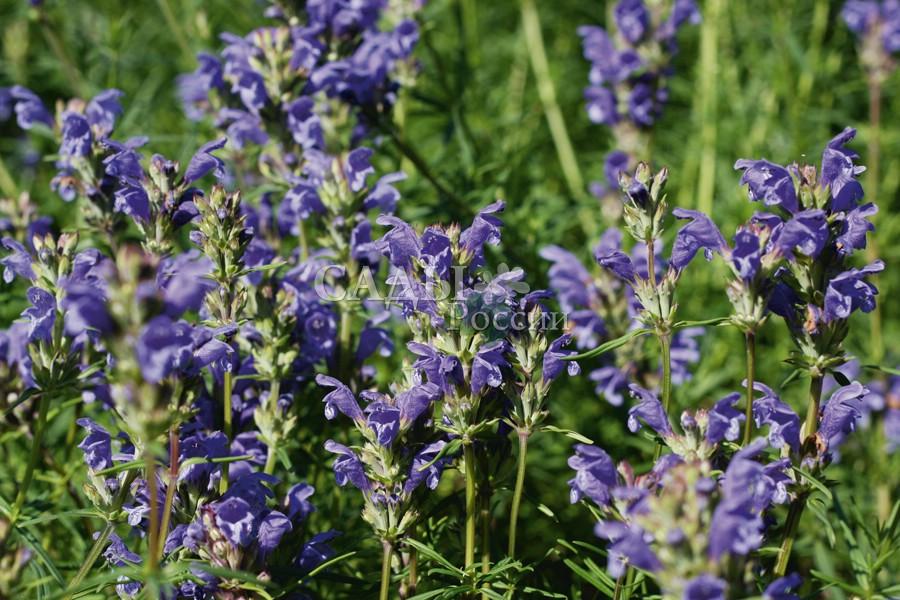 Мелисса ДушистаяАптекарский огород<br>Эту скромницу всегда найдёшь по запаху.<br>