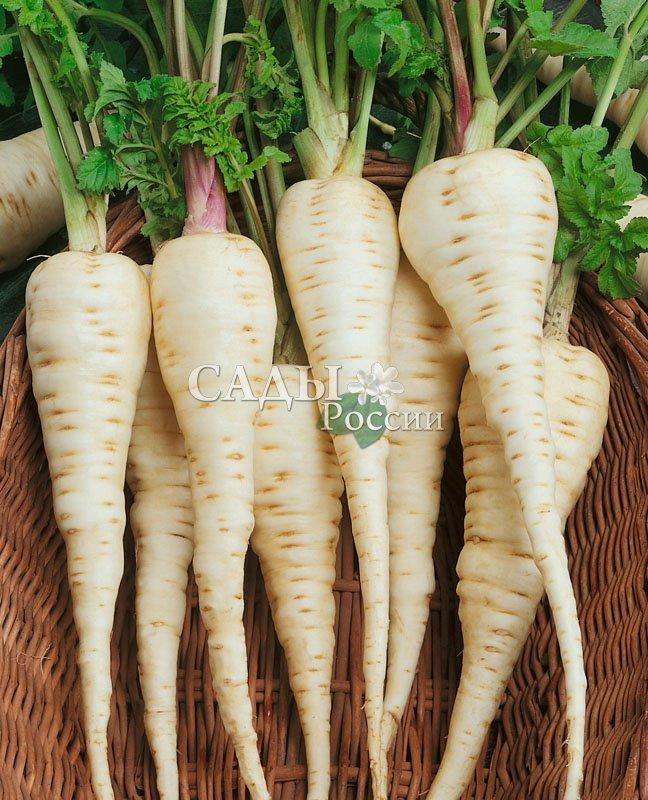 Пастернак БелыйМалораспространенные культуры<br>Белая морковь.<br>Среди корнеплодов пастернак самый питательный и полезный, но изза большого разнообразия овощей как-то затерялся в последние годы.<br>А зря.<br>