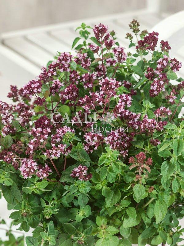 Душица обыкновеннаяАптекарский огород<br>За<br>приятный тонкий перечный аромат её иногда называют лесной<br>мятой.<br>