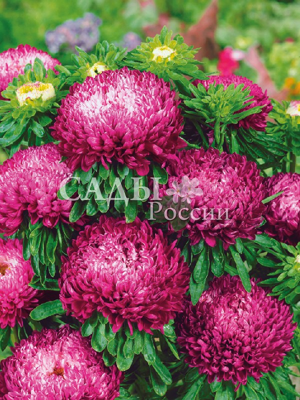 Астра Седая Дама краснаяОднолетники<br>Классическое сочетание пурпурно-красных и серебристо-белых<br>оттенков.<br>