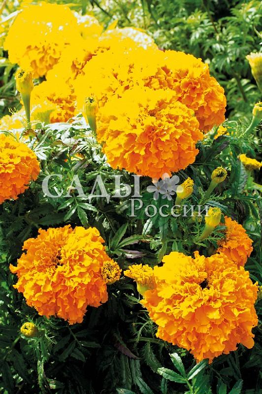 Бархатцы Каландо абрикосовые африканскиеОднолетники<br>Соцветия махровые шарообразные гвоздиковидные до 8 см<br>в диаметре, лососево-абрикосовые.<br>