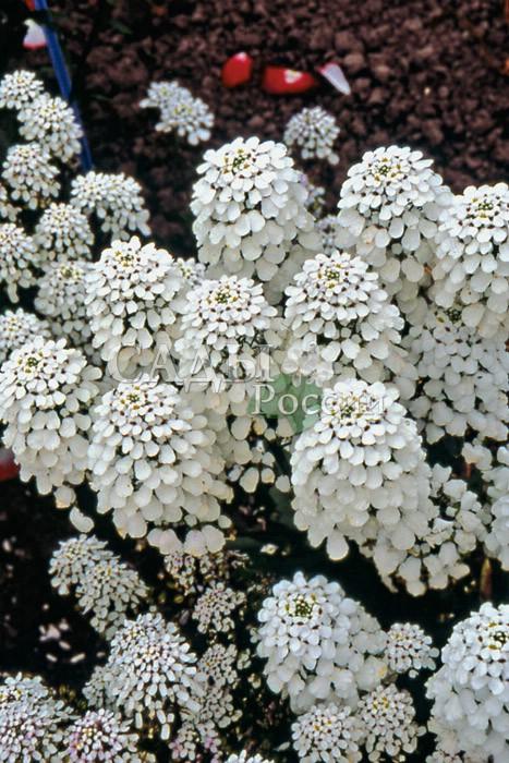 Иберис ИмператрицаОднолетники<br>«Белый гиацинт», исполненный достоинства, изысканный царский цветок.<br>