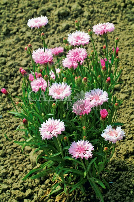 Василёк Том Паус розовыйОднолетники<br>Соцветия самых<br>нежных розовых оттенков.<br>