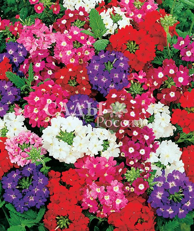 Вербена Флорист наборОднолетники<br>Замечательные, очень выразительные яркие соцветия 7—10 см<br>в диаметре.<br>